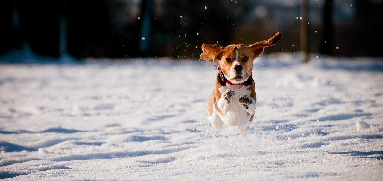 hogyan lehet egy beagle kutya lefogyni